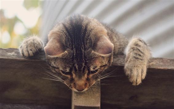 Papéis de Parede Listrado cinza gato, a curiosidade