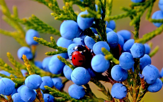 Wallpaper Juniper, blue berries, insect, ladybug