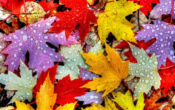 Wallpaper Leaves, autumn, water drops, yellow red purple
