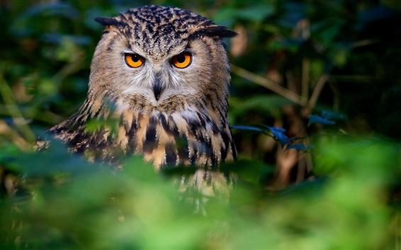 Papéis de Parede Coruja, pássaro, rosto, olhos, floresta