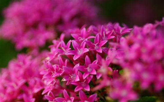 Wallpaper Pentas lanceolata, pink flowers