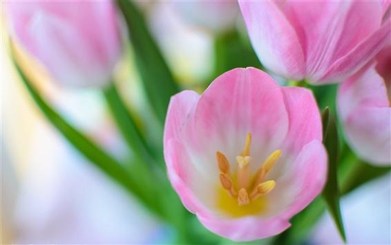 Fond d'écran Rose des fleurs de tulipes macro, nature printemps
