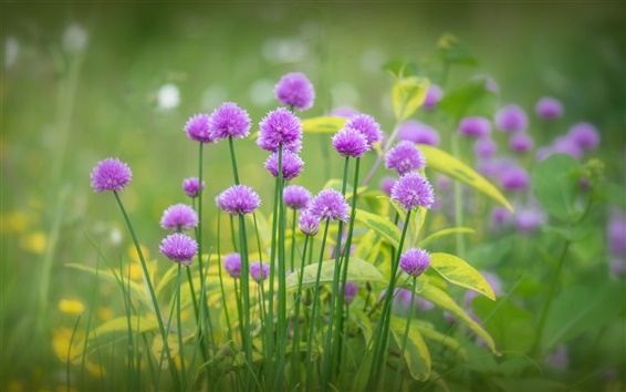 Wallpaper Purple flowers bloom, grass, spring