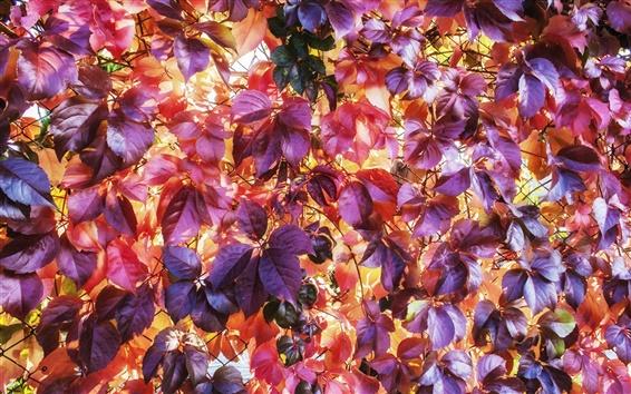 Fond d'écran Les feuilles rouges fond, automne