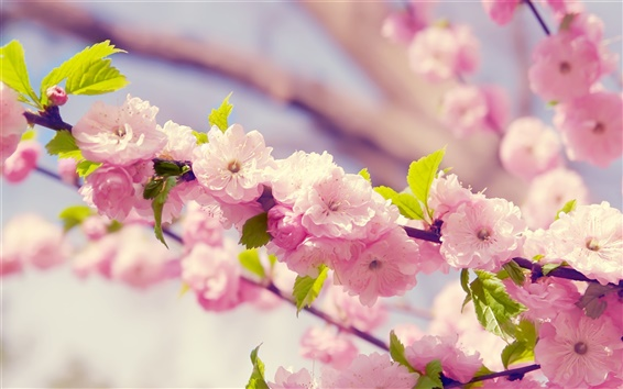 Wallpaper Sakura, pink flowers, petals, bloom, spring