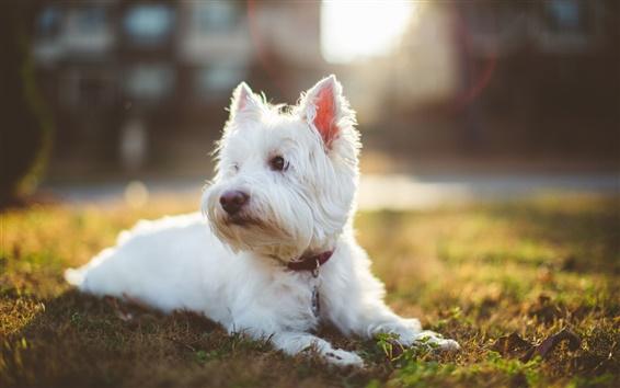 Обои Лохматый белая собака, солнечный свет