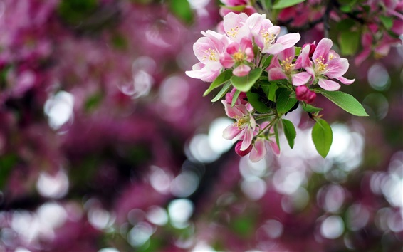 Papéis de Parede Primavera, flores de maçã, ramo, bokeh