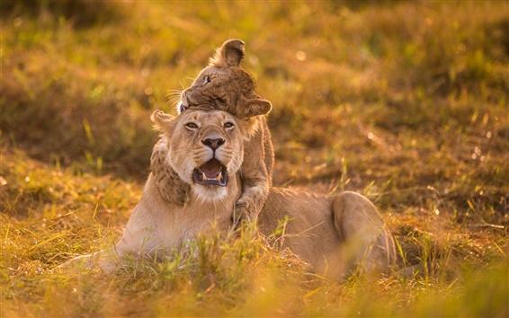 Papéis de Parede Verão, leoa, leão, jogo