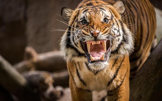 Wallpaper Tiger growl
