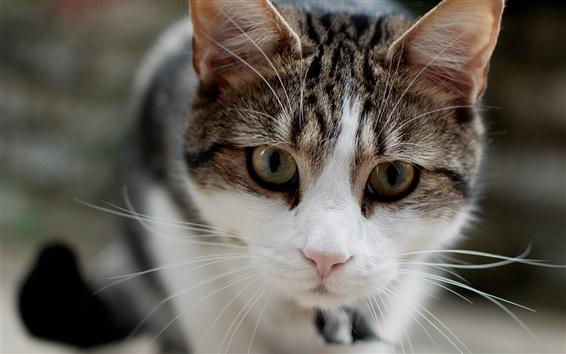 Fond d'écran Chat blanc gris, visage, mise au point, la moustache