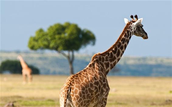 壁紙 アフリカの野生動物、キリン