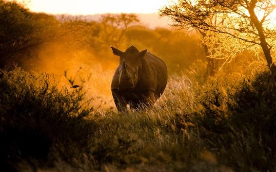 Papéis de Parede Africanos, por do sol, luz solar, rinoceronte