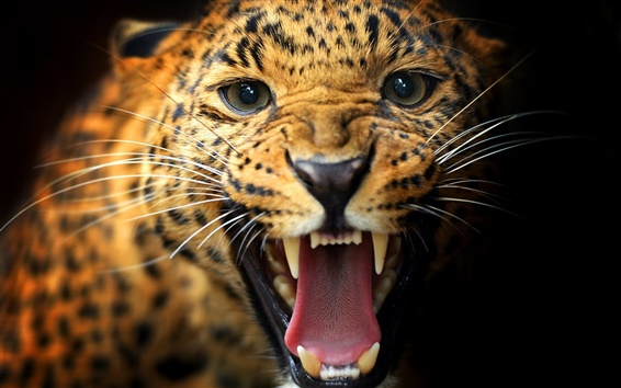 Animal close-up, leopard, teeth, eyes, mustache, black background Wallpaper Preview