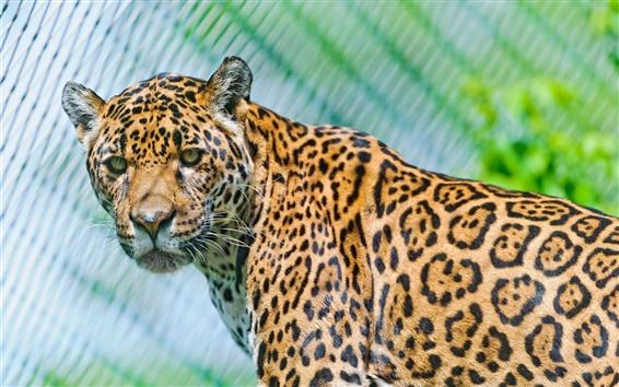 Wallpaper Animals close-up, jaguar, predators, look