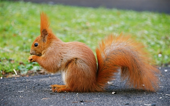 Wallpaper Cute animal, red squirrel, tail