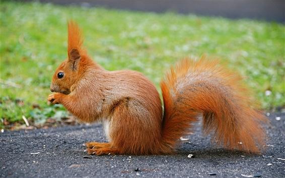 배경 화면 귀여운 동물, 붉은 다람쥐, 꼬리