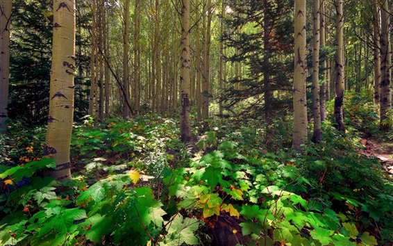 Fond d'écran Forêt, arbres, tremble, pin, lumière du soleil, les feuilles