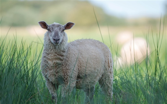 Wallpaper Gray sheep in the grass