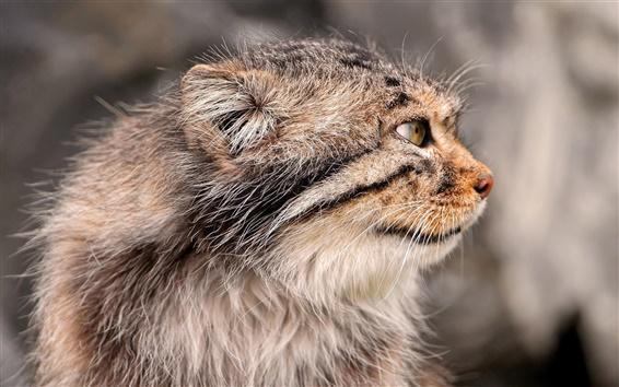 Papéis de Parede O gato de Pallas, vista lateral, rosto, bigodes