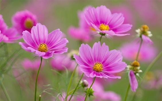Wallpaper Pink flowers, cosmos