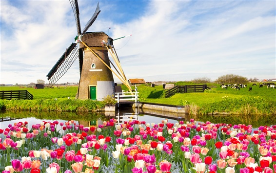 Wallpaper Red white flowers, tulips, spring, fields, windmill