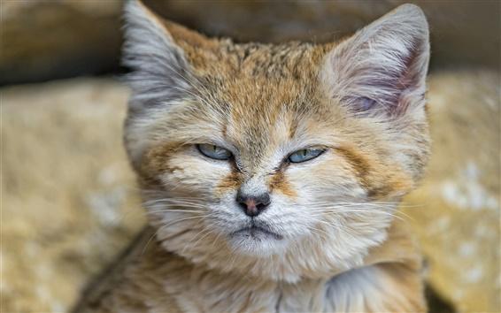 Обои Бархан кошка, лицо крупным планом
