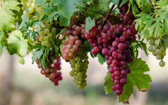 Fondos de pantalla Frutas dulces, uvas de close-up