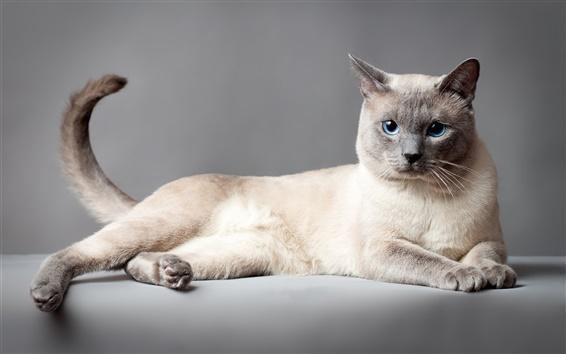 Wallpaper Thai cat, blue eyes, gray background