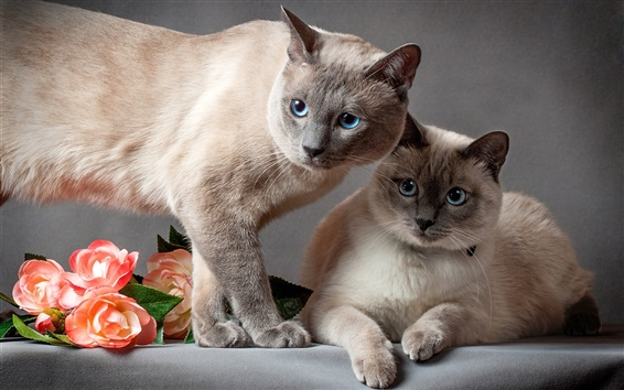 Wallpaper Thai cat, two cats, flowers, gray background