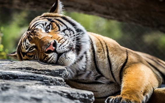 Wallpaper Tiger, face, eyes, stone