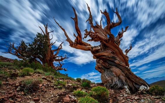 Fond d'écran Etats-Unis, la Californie, l'ancienne forêt de pin de Bristlecone, bois, roches, ciel bleu