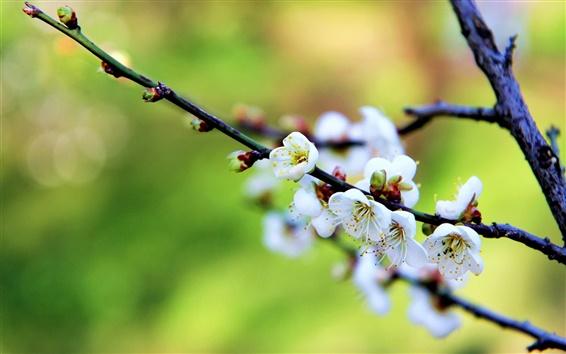 壁紙 白い花、梅の花、春