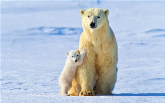 Wallpaper White polar bears, bear mother with cubs, winter, snow