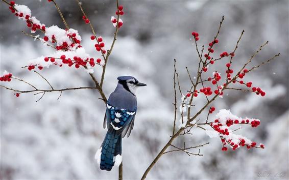 Papéis de Parede Inverno, pássaro azul, neve, galhos, frutos vermelhos