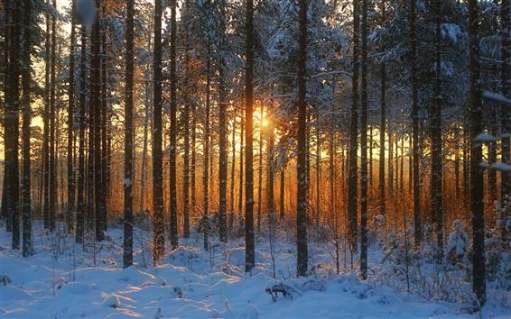 Обои Зимний лес, закат, снег, деревья