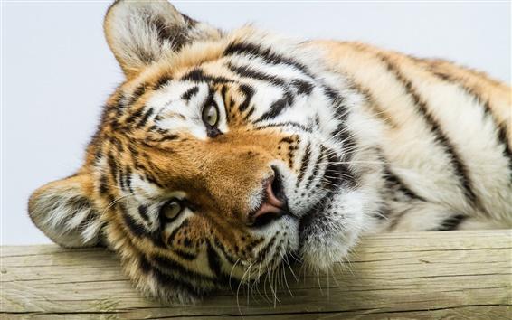 Papéis de Parede Amur tigre, olhos, rosto, close-up