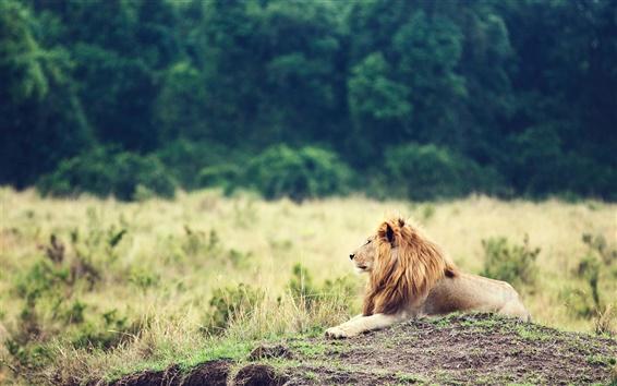 Обои Животное крупным планом, лев, грива, трава