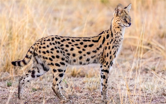 Wallpaper Animal serval, wildlife