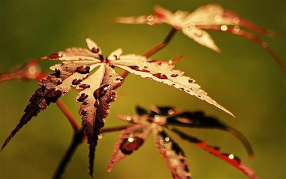 Wallpaper Autumn leaves close-up, dew, blur background