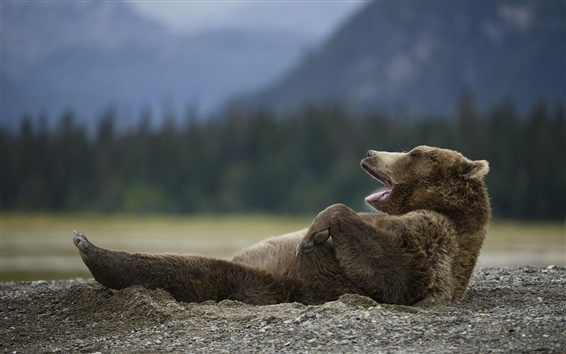 Wallpaper Bear yawn