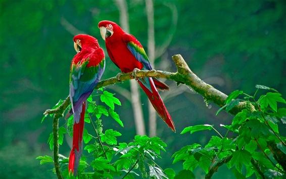 Papéis de Parede Papagaio bonito, penas coloridas, natureza, folhas verdes