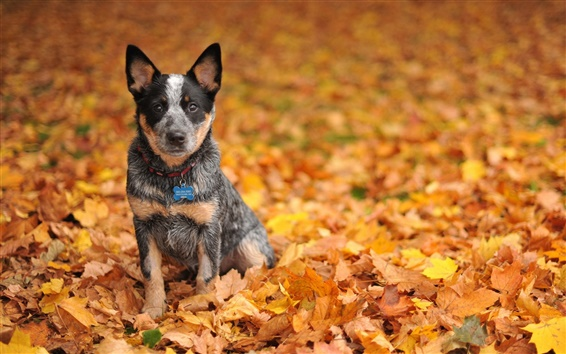 Wallpaper Cute black dog in yellow leaves ground