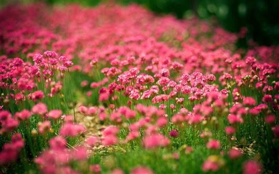 Papéis de Parede Flores Campos, verão, flores vermelhas