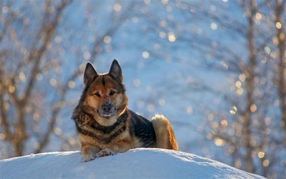 Fondos de pantalla Perro pastor alemán, invierno, nieve