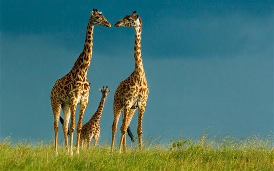 Обои Жирафы, дикая природа, небо, трава