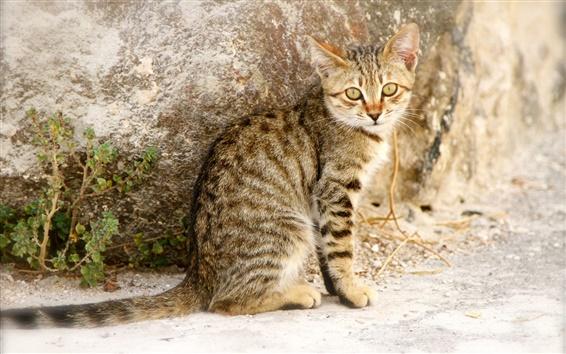 Обои Серый полосатый котенок оглянуться назад