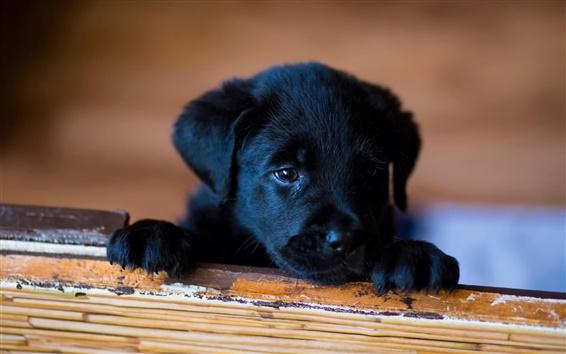 Wallpaper Little dog, black puppy