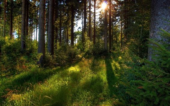 Fond d'écran Forêt du matin, les arbres, l'herbe, le soleil, la nature