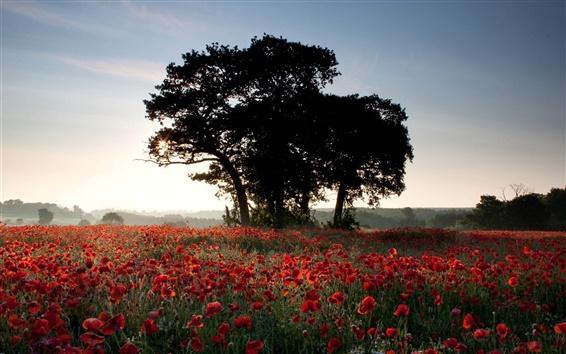 Wallpaper Nature summer, flowers field, poppies, trees, sunlight, dusk