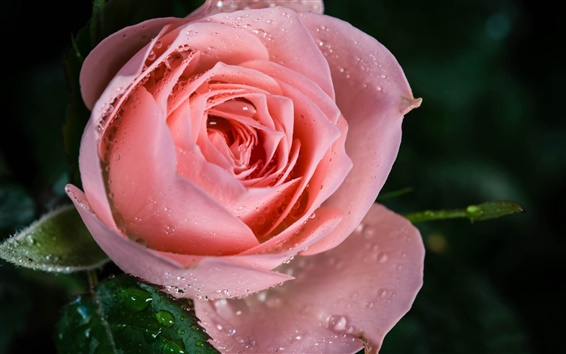 Wallpaper Pink rose flower, dew, close-up